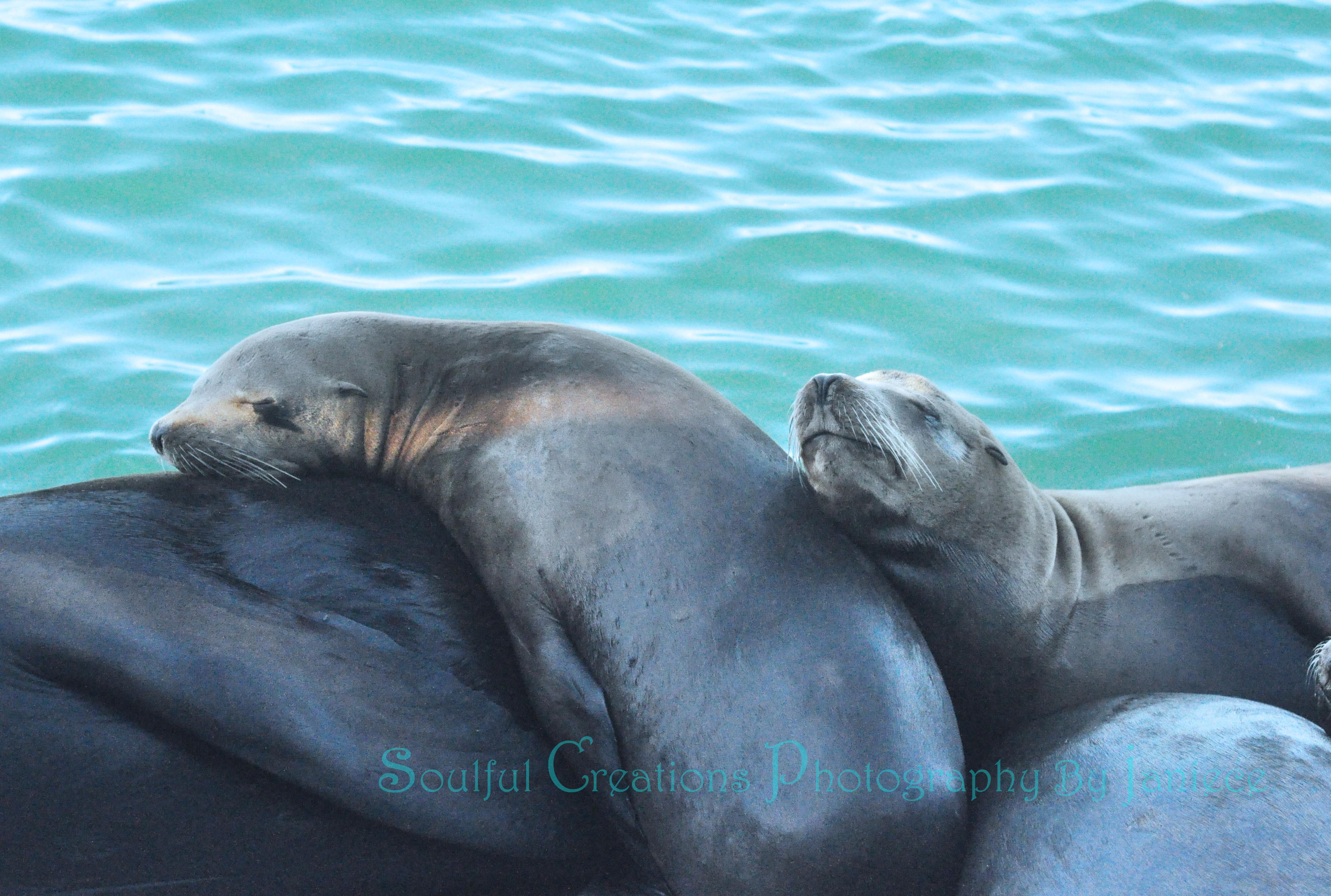 Vibrant Sea Lion Family in a Slumber on Pacific Ocean in Santa Cruz, Ca – Photography Wall Art – Etsy