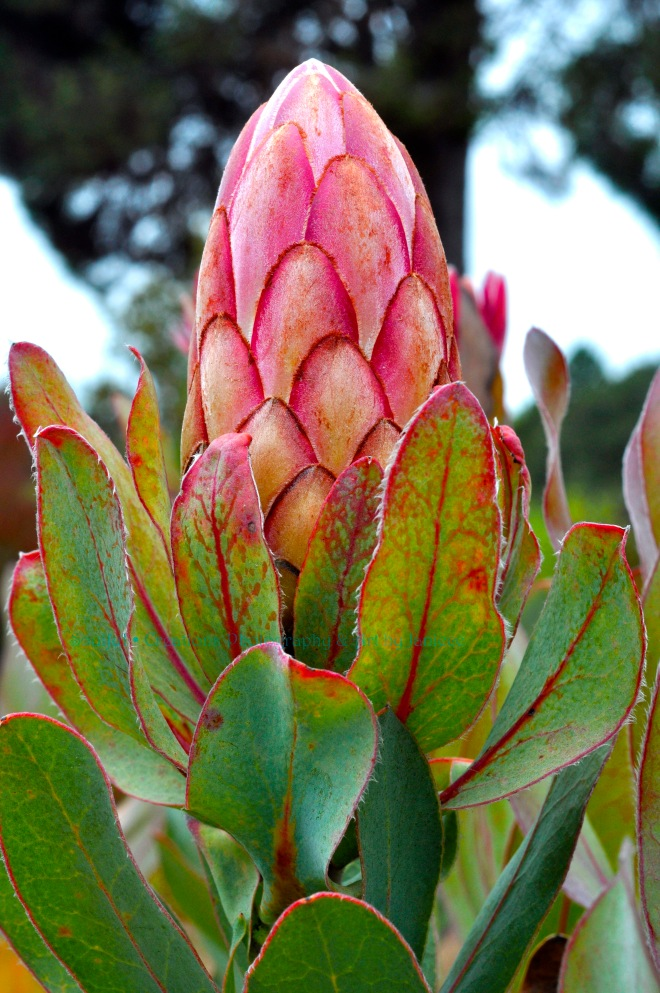 University of Santa Cruz Arboretum – Closed King Protea African Flower