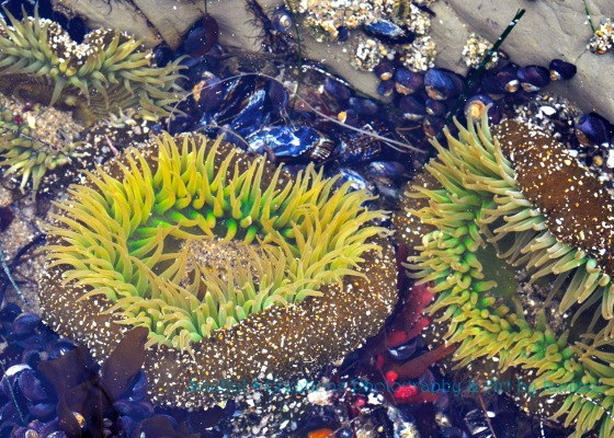 Sea Anemone in Santa Cruz