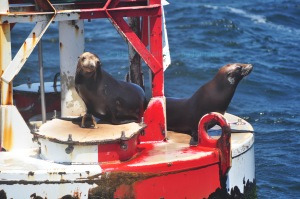 Sea Lions 1 Mile Buoy Santa Cruz, Ca